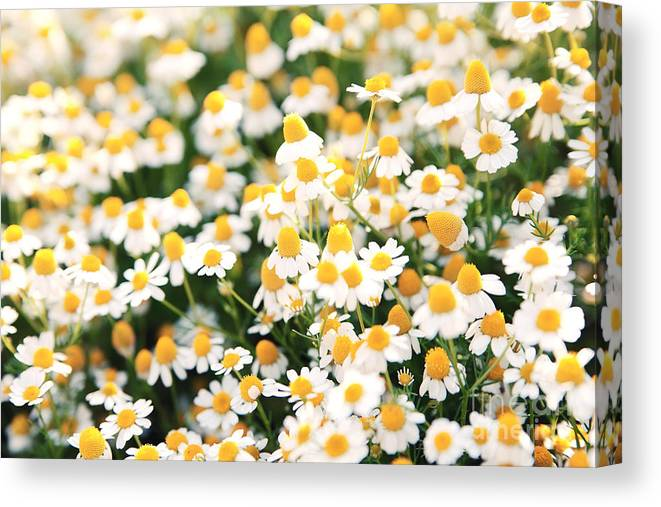 Beauty Canvas Print featuring the photograph Spring White Daisy Flowers In Nature In by Katerina Planina