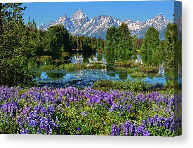 Grand Teton National Park Canvas Print featuring the photograph Tetons And Lupines by Greg Norrell