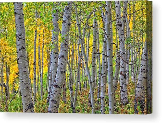 Aspens Canvas Print featuring the photograph The Gentleness Of Aspens 1 by Mitch Johanson