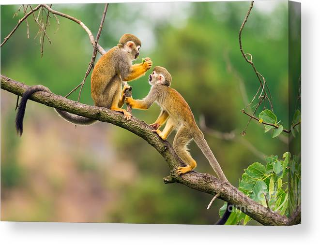 Small Canvas Print featuring the photograph Two Common Squirrel Monkeys Saimiri by Nick Fox