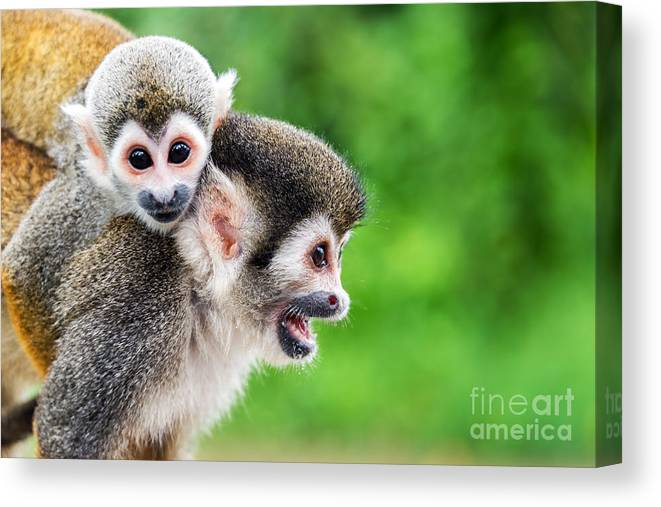 Forest Canvas Print featuring the photograph Two Squirrel Monkeys, A Mother And Her by Jess Kraft