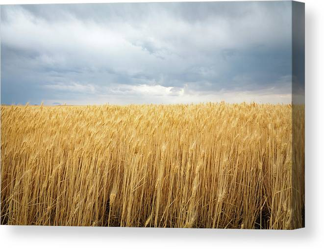 Outdoors Canvas Print featuring the photograph Wheat Field Under Dark Clouds by Adrian Studer