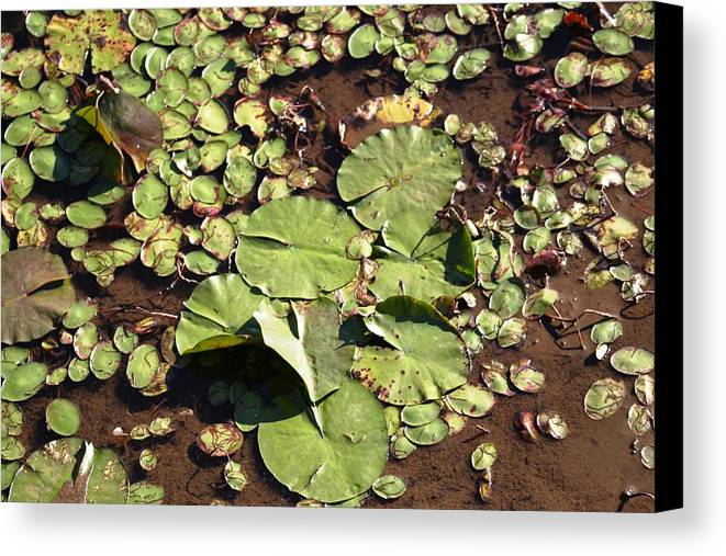 Nature Canvas Print featuring the photograph Lilly Pads by Lisa Johnston