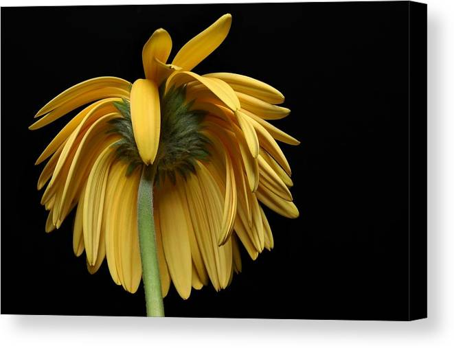 Flower Canvas Print featuring the photograph The Flop by Dan Holm