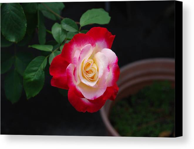 Grown In Pot Canvas Print featuring the photograph Rose by Robert Floyd