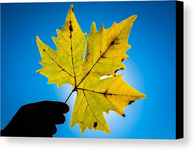 Leaf Canvas Print featuring the photograph Autumn Maple Leaf In The Sun by Andreas Berthold