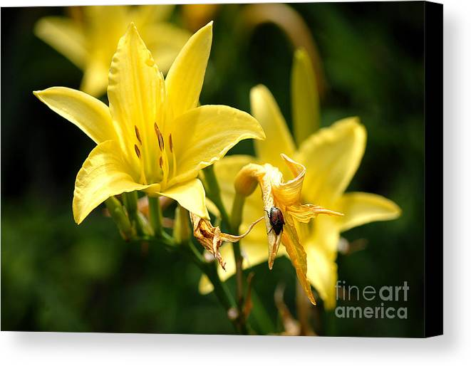 Yellow Canvas Print featuring the digital art Beetle Resting On Yellow Lily Flower by Glenn Morimoto