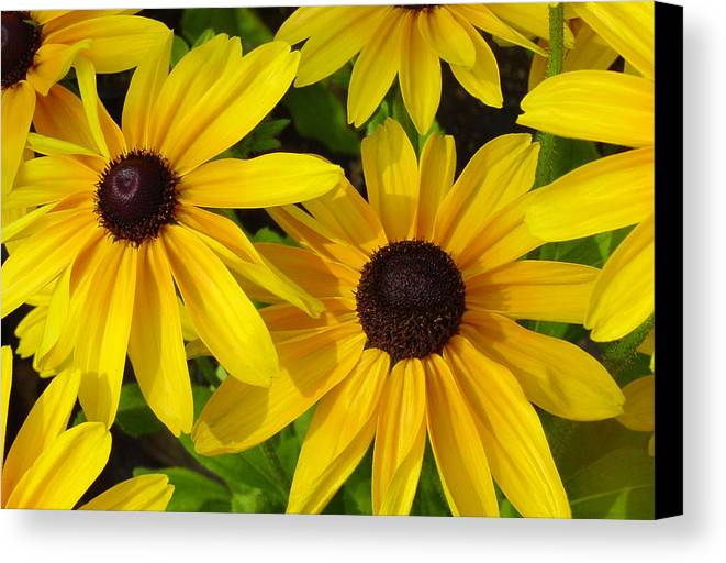 Black Eyed Susan Canvas Print featuring the photograph Black Eyed Susans by Suzanne Gaff