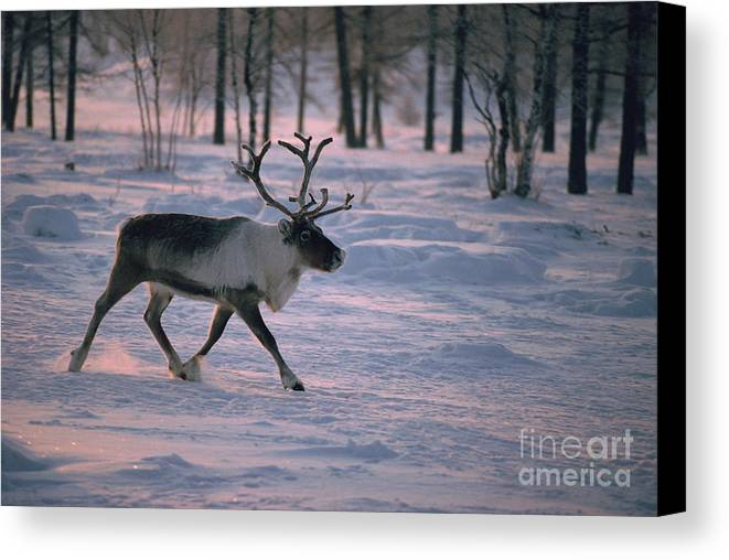 Animal Canvas Print featuring the photograph Bull Reindeer In Siberia by Bryan and Cherry Alexander