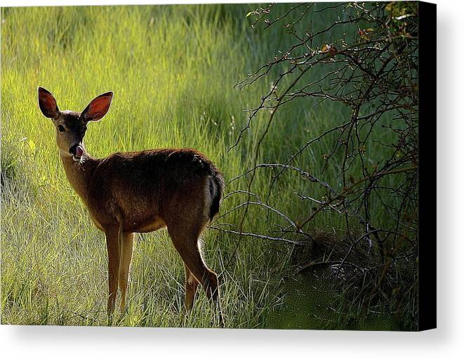 Deer Canvas Print featuring the photograph Deer At Home Away From Home by My Lens and Eye  - Judy Mullan -