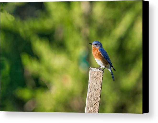 Eastern Bluebird Canvas Print featuring the photograph Eastern Bluebird by David Kay