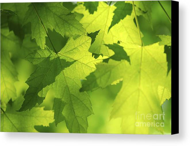 Leaf Canvas Print featuring the photograph Green Maple Leaves by Elena Elisseeva