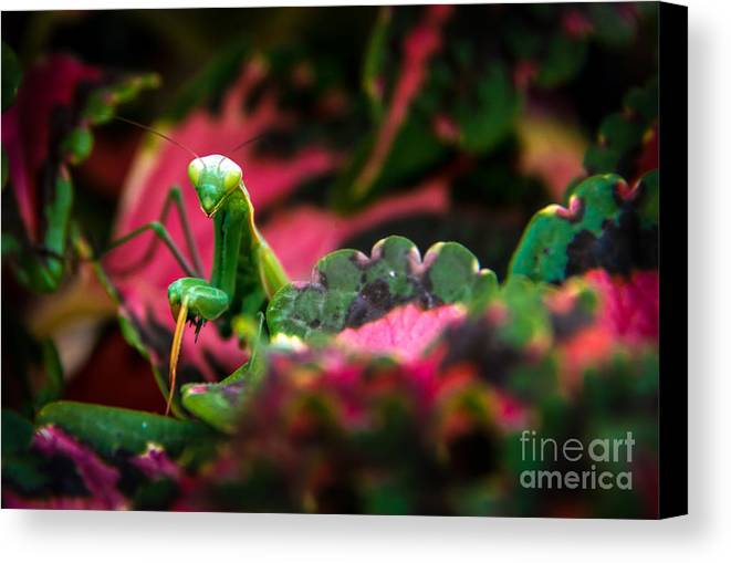 Praying Mantis Canvas Print featuring the photograph Here I Am by Robert Bales
