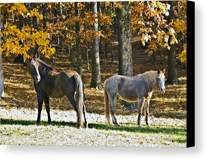 Animal Canvas Print featuring the photograph Horses In Autumn Pasture  by Susan Leggett