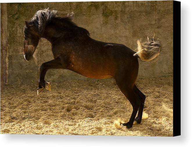 Stallion Canvas Print featuring the photograph Leap by Pam Kaster