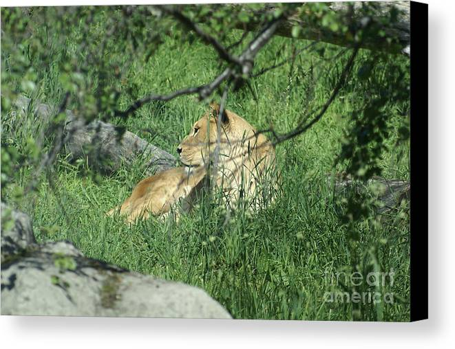 Lion Canvas Print featuring the photograph Lion by Jorge Rueda