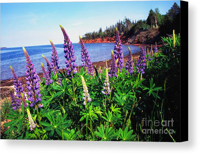 Lupine Canvas Print featuring the photograph Lupine Bay Fortune by Thomas R Fletcher