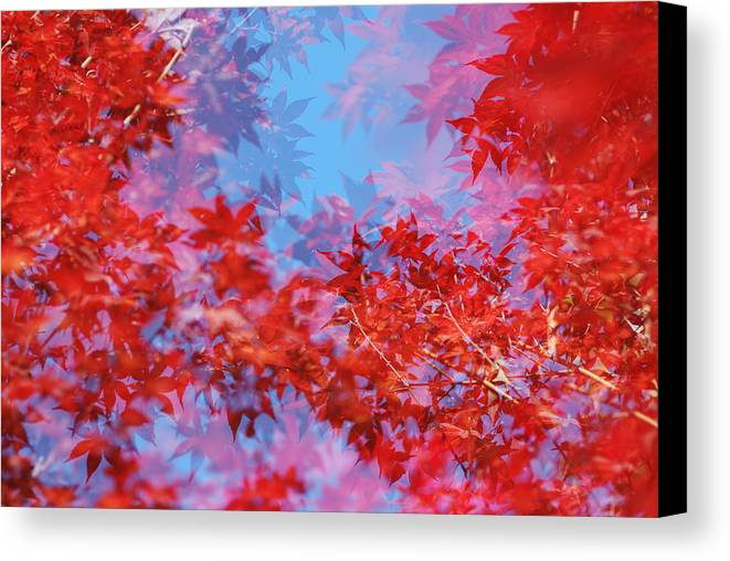 Leaf Canvas Print featuring the photograph Maple Leaves by Catherine Lau