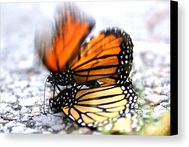 Monarchs In Love Canvas Print featuring the photograph Monarchs In Love by Thomas Bomstad