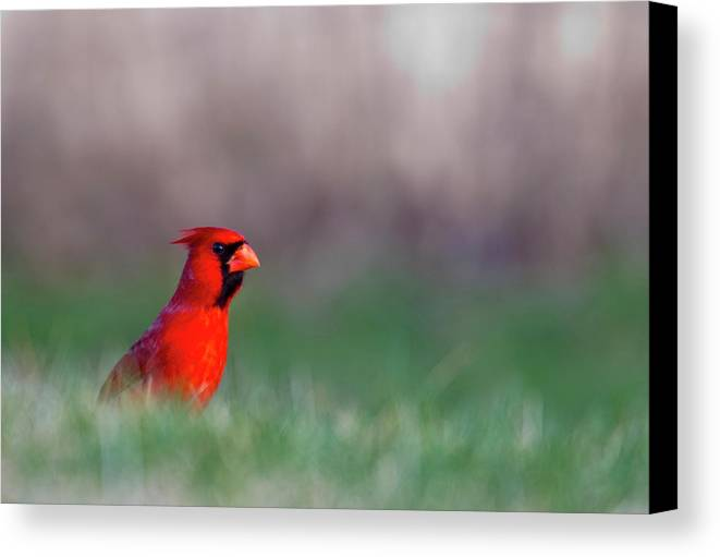 Bird Canvas Print featuring the photograph Northern Cardinal In Loup County by Chuck Haney