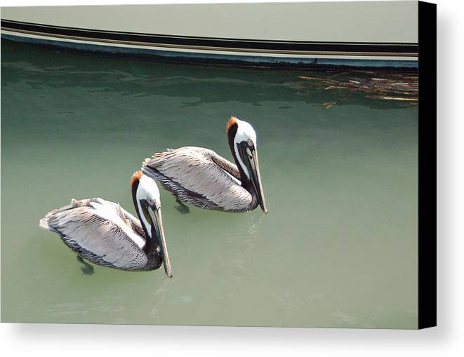 Brown Pelican Canvas Print featuring the photograph Pelicans Partners by Suzanne Gaff