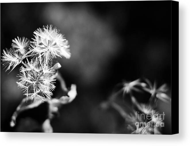 Dandelions Canvas Print featuring the photograph Pinwheels by Barbara Shallue