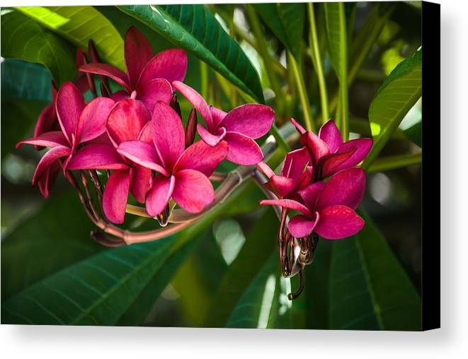 Frangipani Canvas Print featuring the photograph Red Frangipani Flowers by Gene Norris