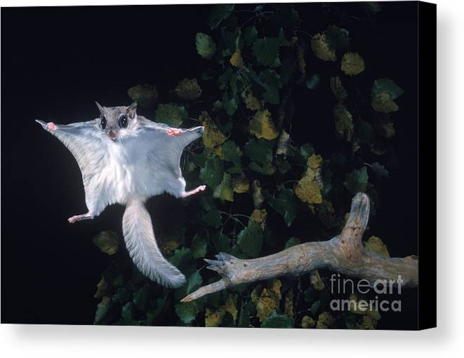Southern Flying Squirrel Canvas Print featuring the photograph Southern Flying Squirrel by Nick Bergkessel Jr