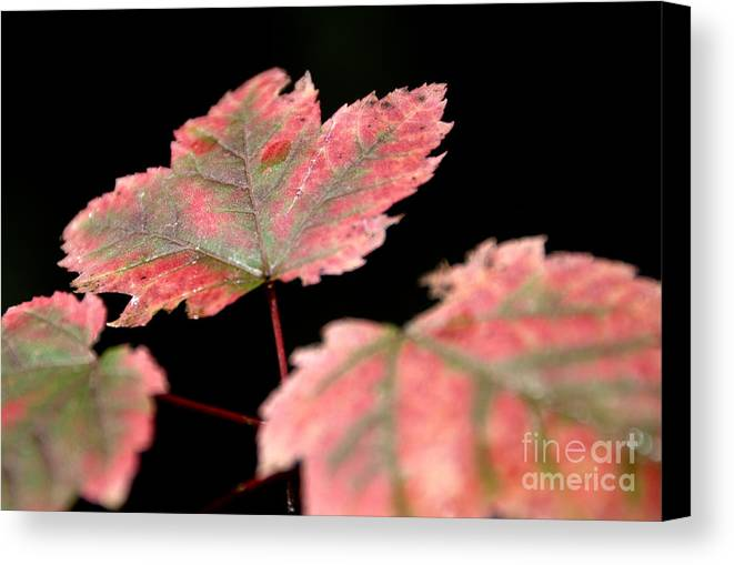 Leaves Canvas Print featuring the photograph Summer Fall by Cheryl Baxter