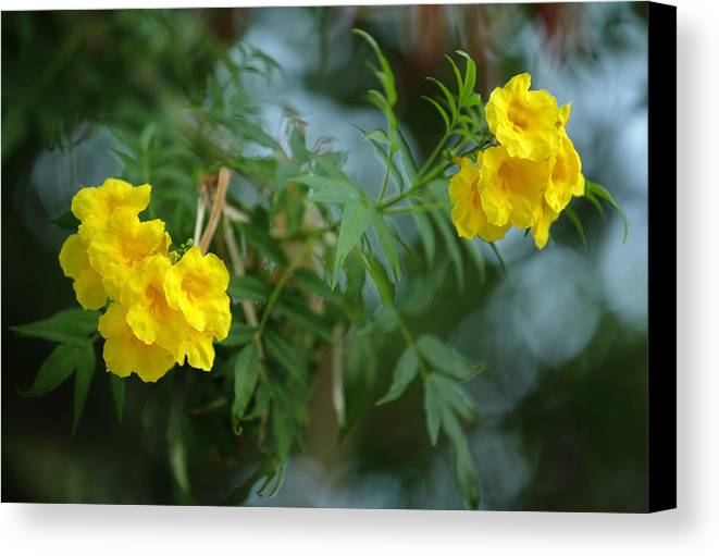 Tecoma stans the yellow bell tree canvas print canvas art by paul spetses canvas print featuring the photograph tecoma stans the yellow bell tree by paul cowan mightylinksfo