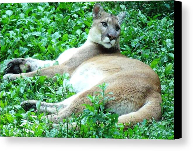 Wild Cats Canvas Print featuring the photograph The Princess Of Queens by La Culture Critique