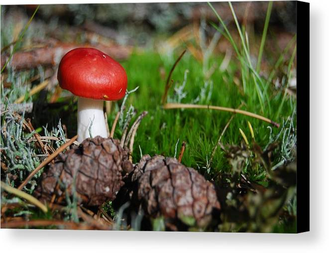 Amanita Canvas Print featuring the photograph Tiny Amanita In Norway by Sonya Kanelstrand
