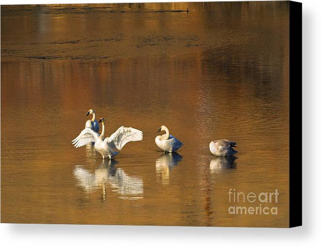 Swan Canvas Print featuring the photograph Trumpeter Ballet by Mike Dawson