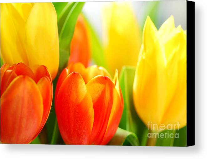 Tulip Canvas Print featuring the photograph Tulips by Elena Elisseeva