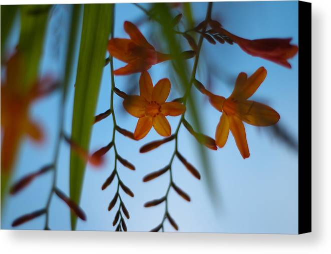 Crocosmia Canvas Print featuring the photograph Under Below by Pete Abbott