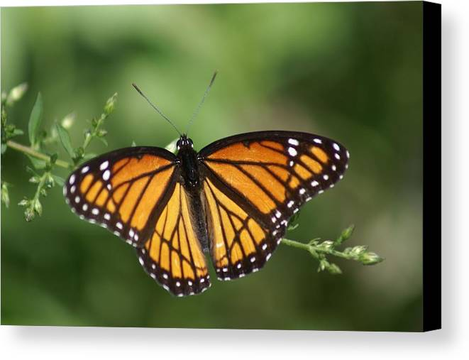 Butterfly Canvas Print featuring the photograph Viceroy Butterfly by Kim Lincicome