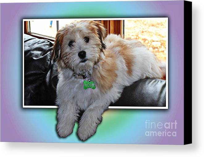 Yoshi Havanese Puppy Canvas Print featuring the photograph Yoshi Havanese Puppy by Barbara Griffin
