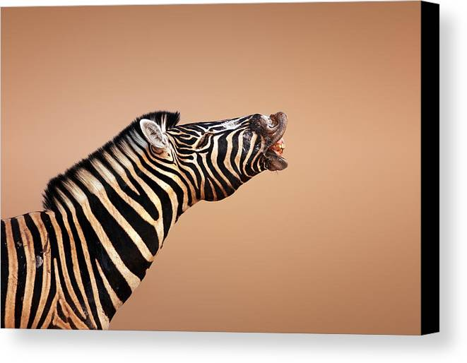 Zebra Canvas Print featuring the photograph Zebra Calling by Johan Swanepoel