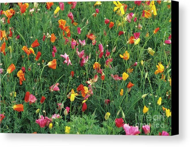 Eschscholzia Californica Canvas Print featuring the photograph California Poppies by Duncan Smith