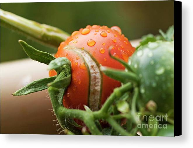 Drop Canvas Print featuring the photograph Immature Tomatoes by Sami Sarkis