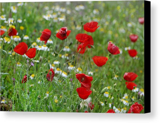Poppy Canvas Print featuring the photograph Poppies by Guido Montanes Castillo