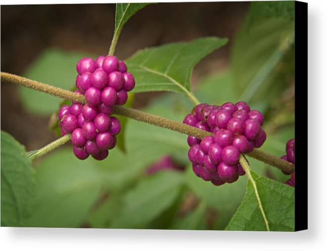 Callicarpa Canvas Print featuring the photograph 1109-6879 American Beautyberry Or French Mulberry by Randy Forrester