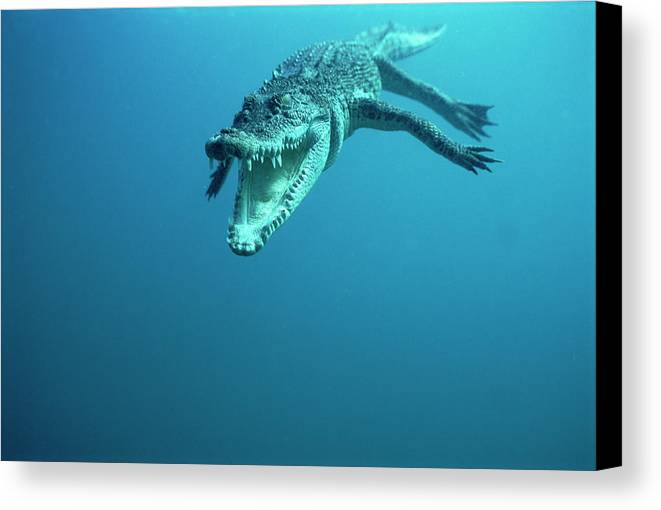Mp Canvas Print featuring the photograph Saltwater Crocodile Crocodylus Porosus by Mike Parry