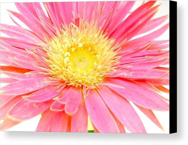 Gerbera Photographs Canvas Print featuring the photograph 5436c1-004 by Kimberlie Gerner
