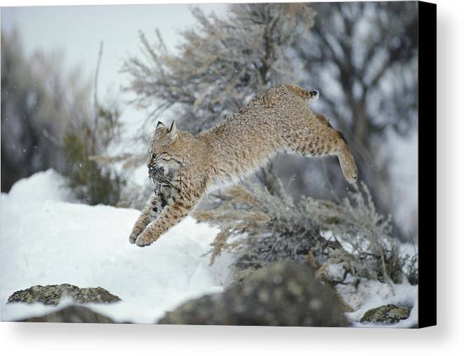 North America Canvas Print featuring the photograph A Bobcat Leaps With A Horned Lark by Michael S. Quinton