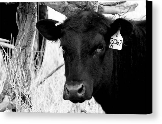 Cattle Photographs Canvas Print featuring the photograph Angus Cow In Black And White by Tam Graff
