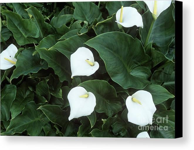 Zantedeschia Aethiopica Canvas Print featuring the photograph Arum Lily (zantedeschia Aethiopica) by Adrian Thomas
