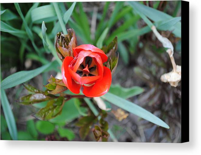 Nature Canvas Print featuring the photograph Blooming Tulip by April Robert