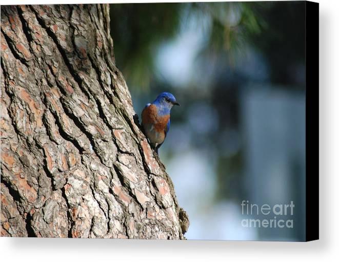 Birds Canvas Print featuring the photograph Bluebird On The Tree by Barry Kadische