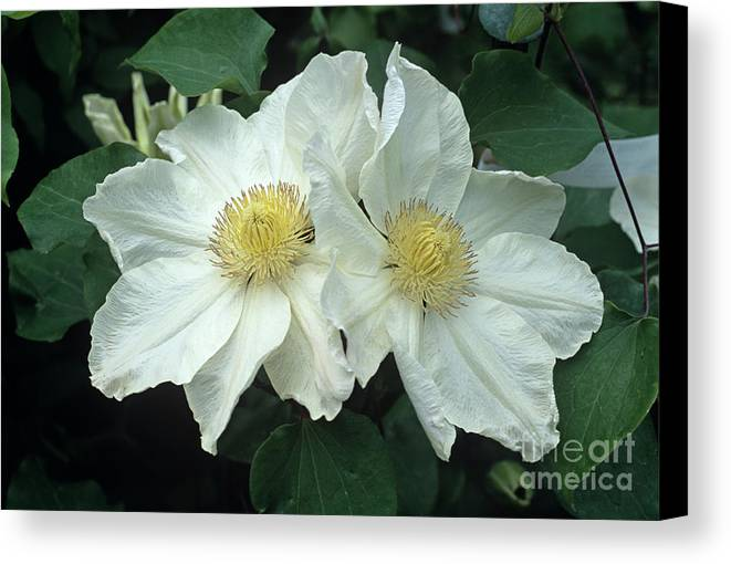 'lemon Chiffon' Canvas Print featuring the photograph Clematis 'lemon Chiffon' Flowers by Adrian Thomas